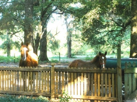Horses looking over fence.