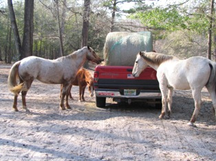 Horses gather to help themselves to hay in the back of a truck.